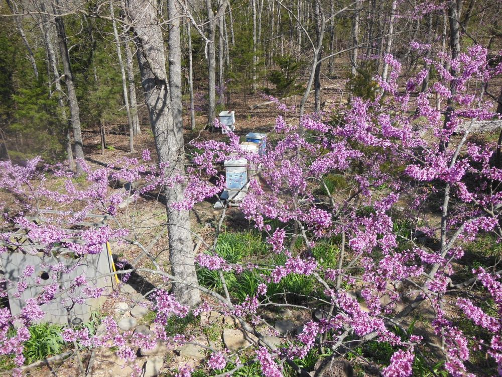 Eastern redbuds grow close to one of Bluebird Gardens apiaries.