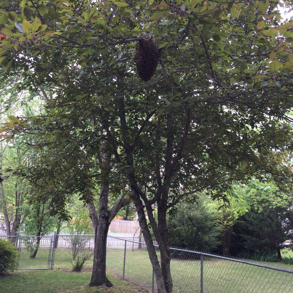 The caller said the swarm was in her backyard tree and sure enough, there it is!