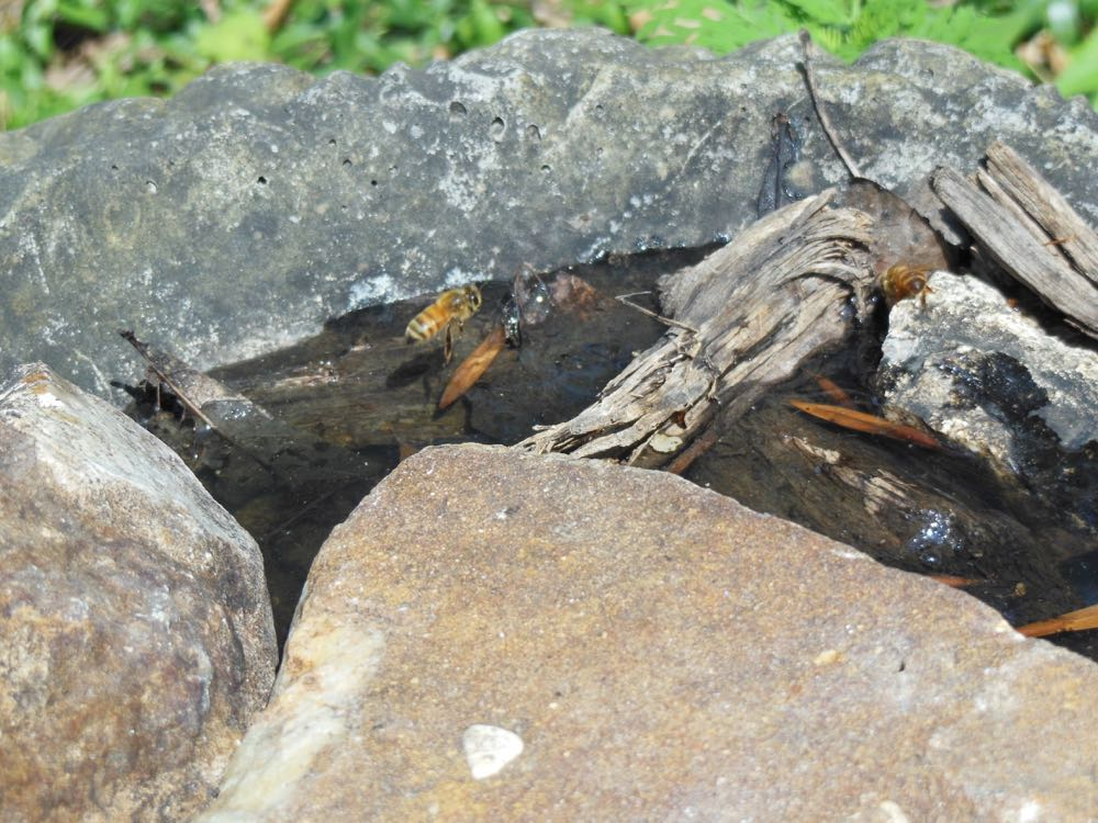 Honeybees land in one of Bluebird Gardens bee baths with rocks and twigs.