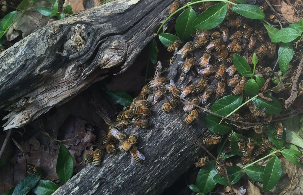 I found these bees on a log, looks like a tiny after swarm at Bluebird Gardens Bee Garden!