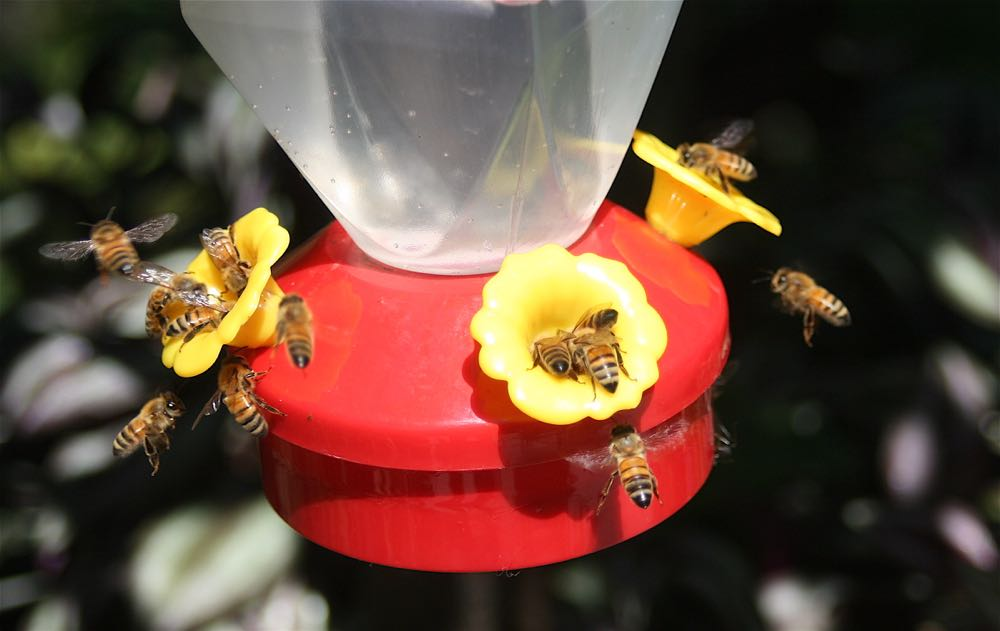 My honeybees after the hummingbird feeder sugar water at Bluebird Gardens.
