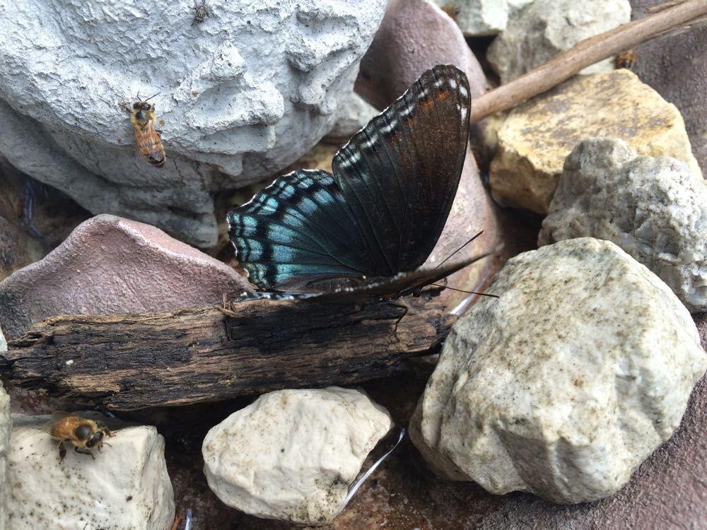 Black swallowtail butterflies also enjoy sugar water that attracts bees.