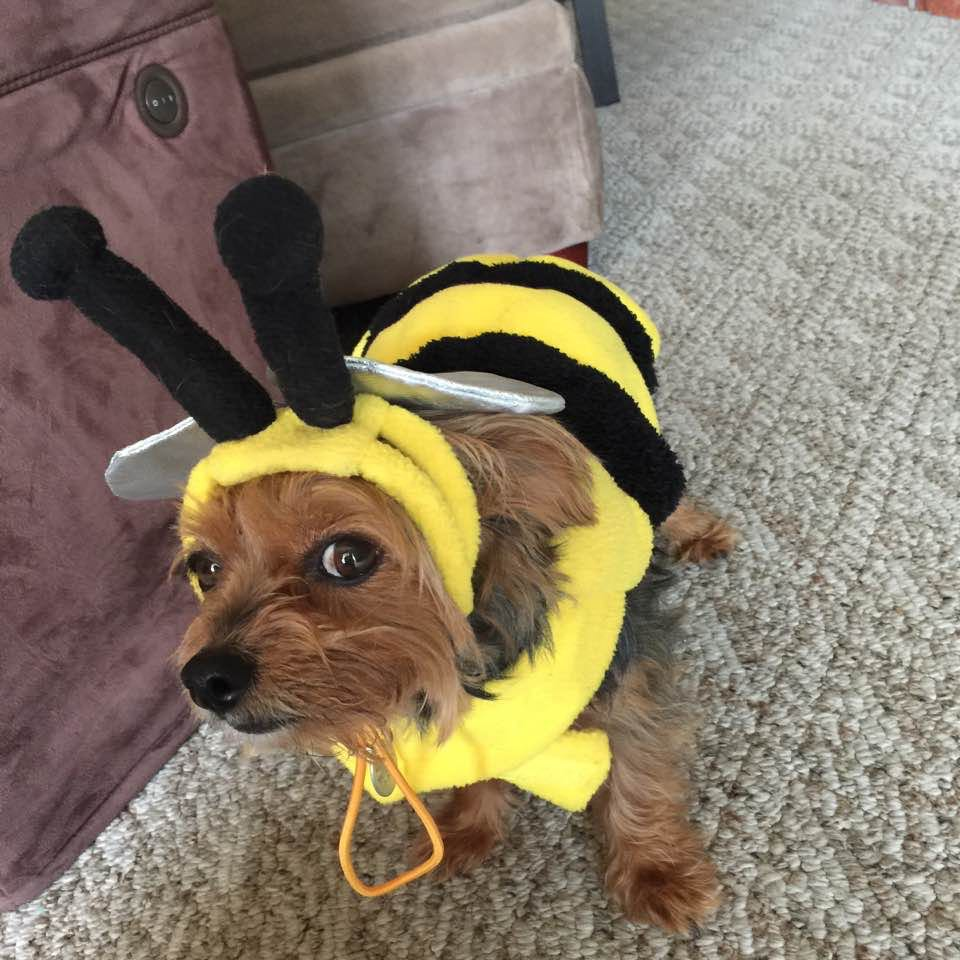 My friend Mary Frances dog Freddie in his bee costume Halloween 2016. Bzzzz!