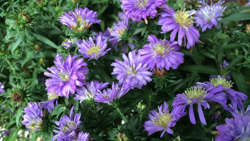 New England Asters are a favorite source of fall pollen for honeybees.