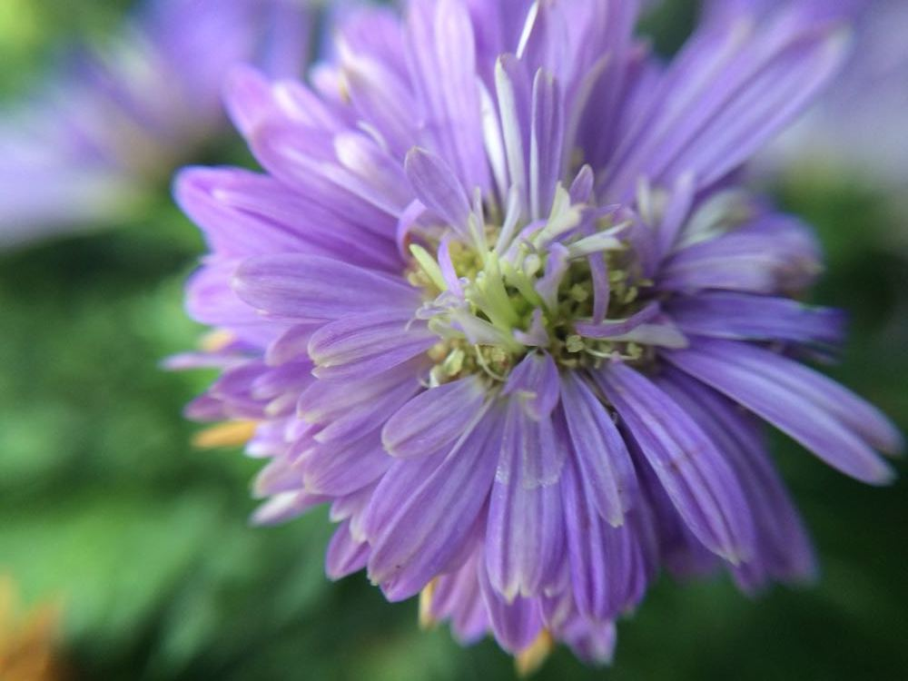 A closeup of a New England Aster flower shows the generous source of pollen.