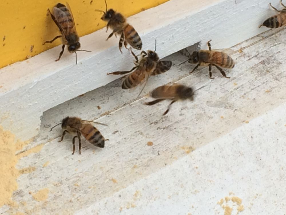A colony of Italian honeybees at the entrance of one of my Bluebird Gardens bee hives.