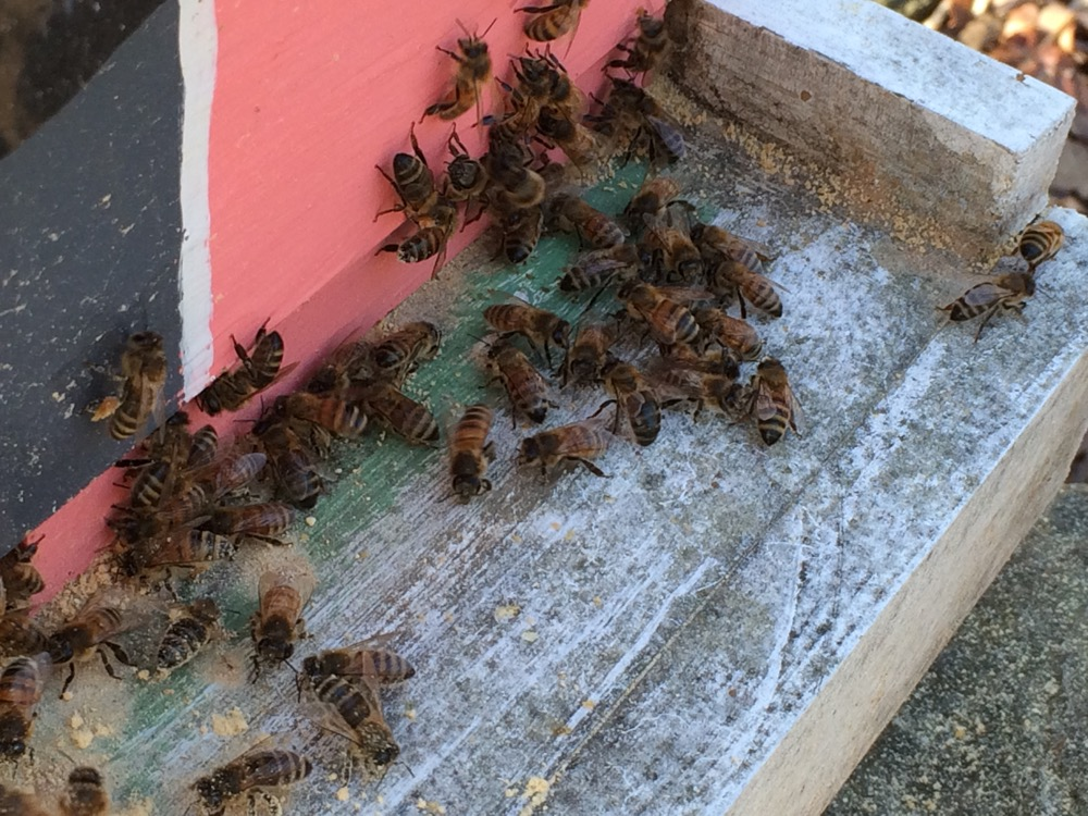 My honeybees were packing the pollen substitute I left at the entrance to their hive.