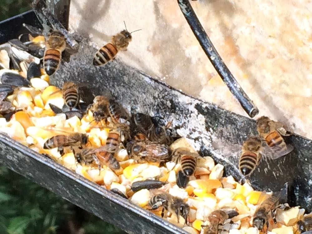 For a short time in winter, my honeybees raid my bird feeders for cracked corn dust.