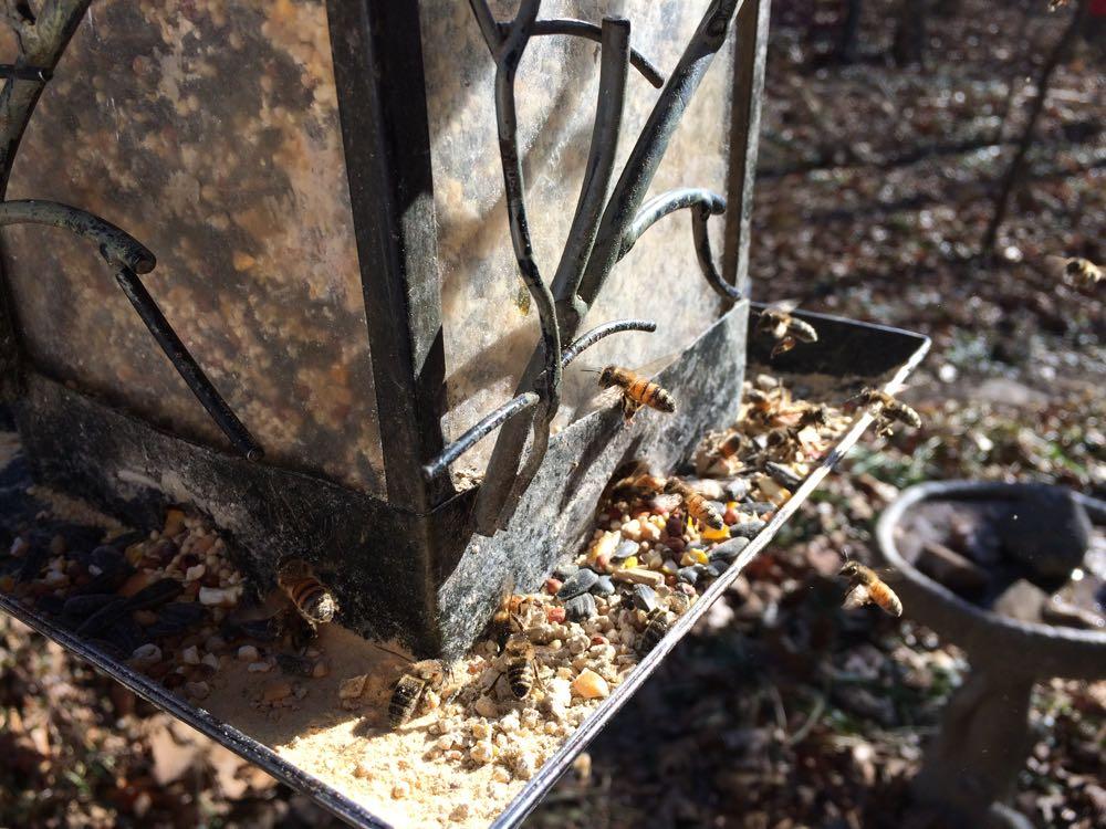Honeybees start to work the leftover cracked corn at the bird feeder's edge for the corn dust.