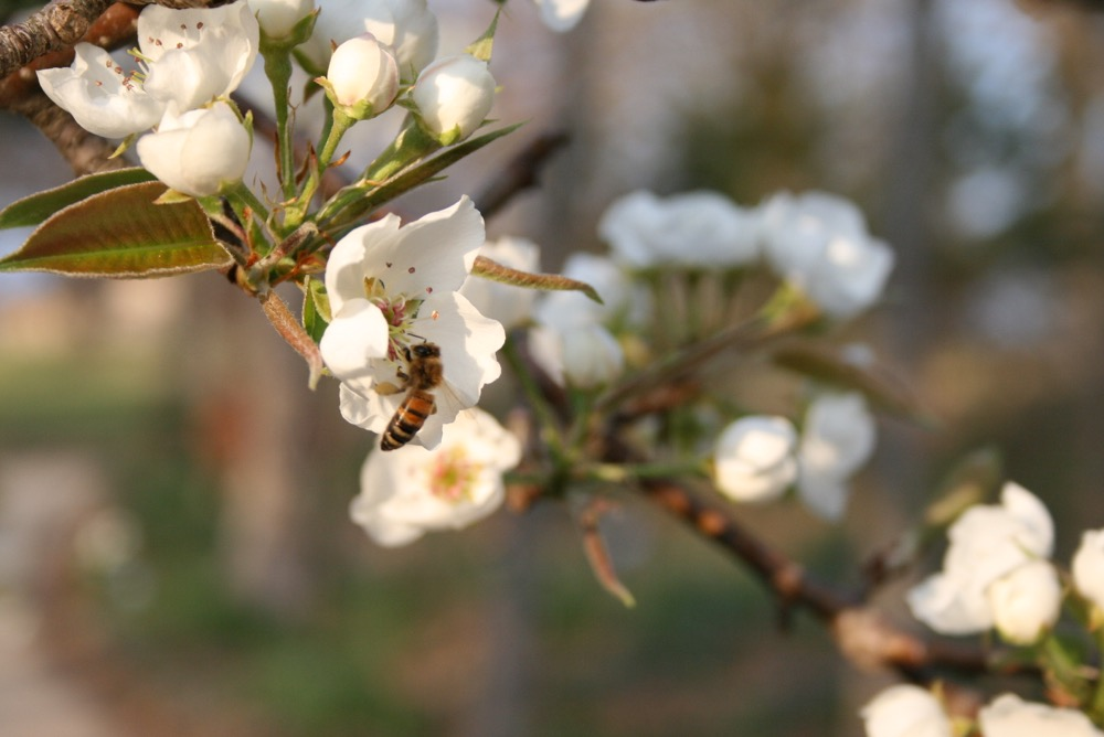 One of my honeybees in spring moves pollen among the flowers in my compact pear tree.