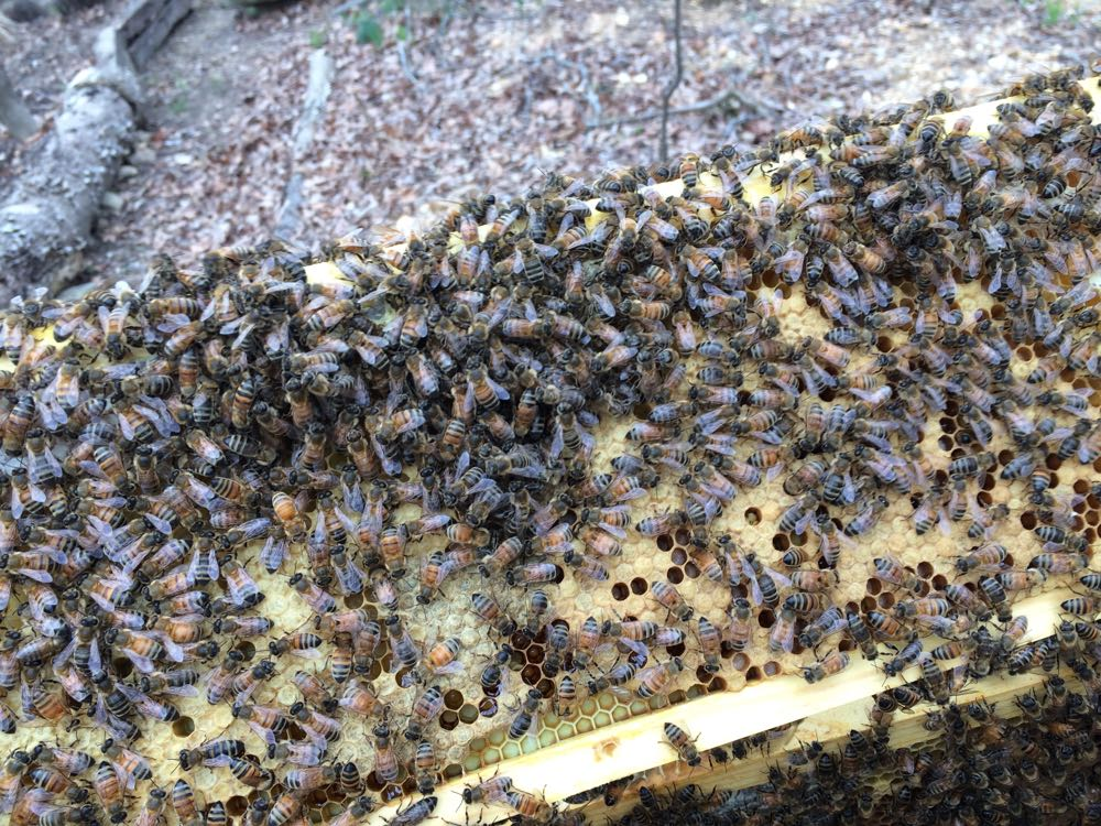 My girls have been busy, this is a frame of brood and honey almost full on both sides.