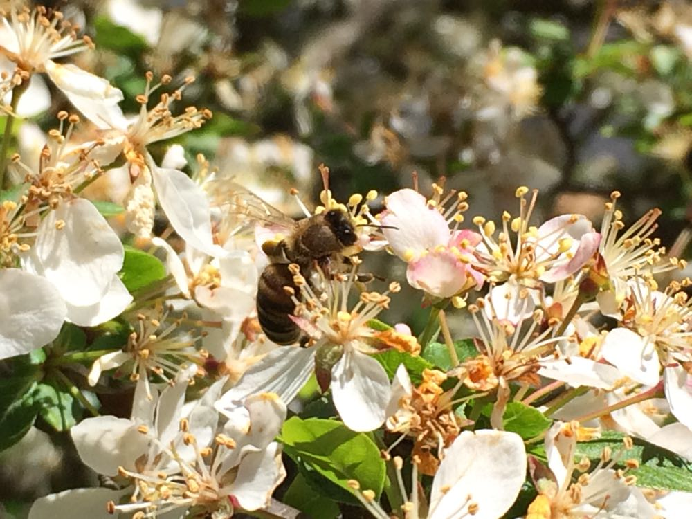 Crab apple trees provide bees pollen in spring.