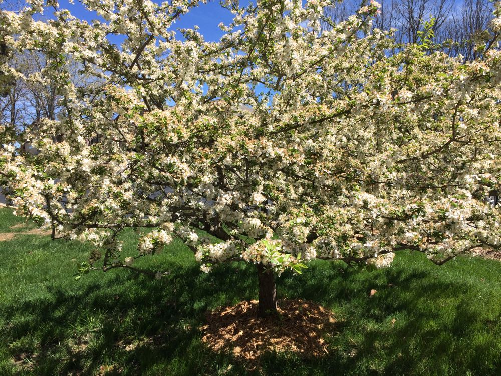 A variety of bees visit this crab apple tree in spring including native bees.
