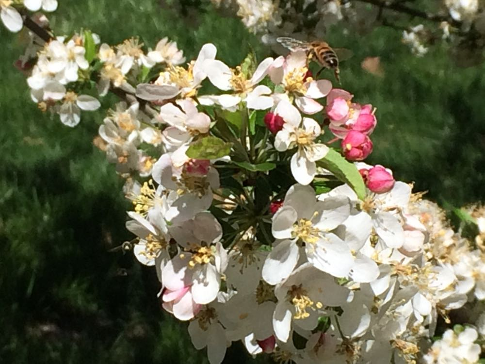 A honeybee takes off after visiting the flowering crab apple tree.