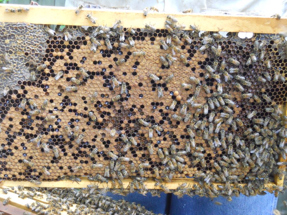 Another frame of brood from this box shows bee bread stored in the center.