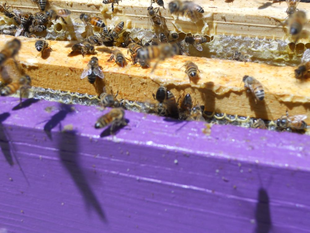 Worker bees in one of my hives at Bluebird Gardens.