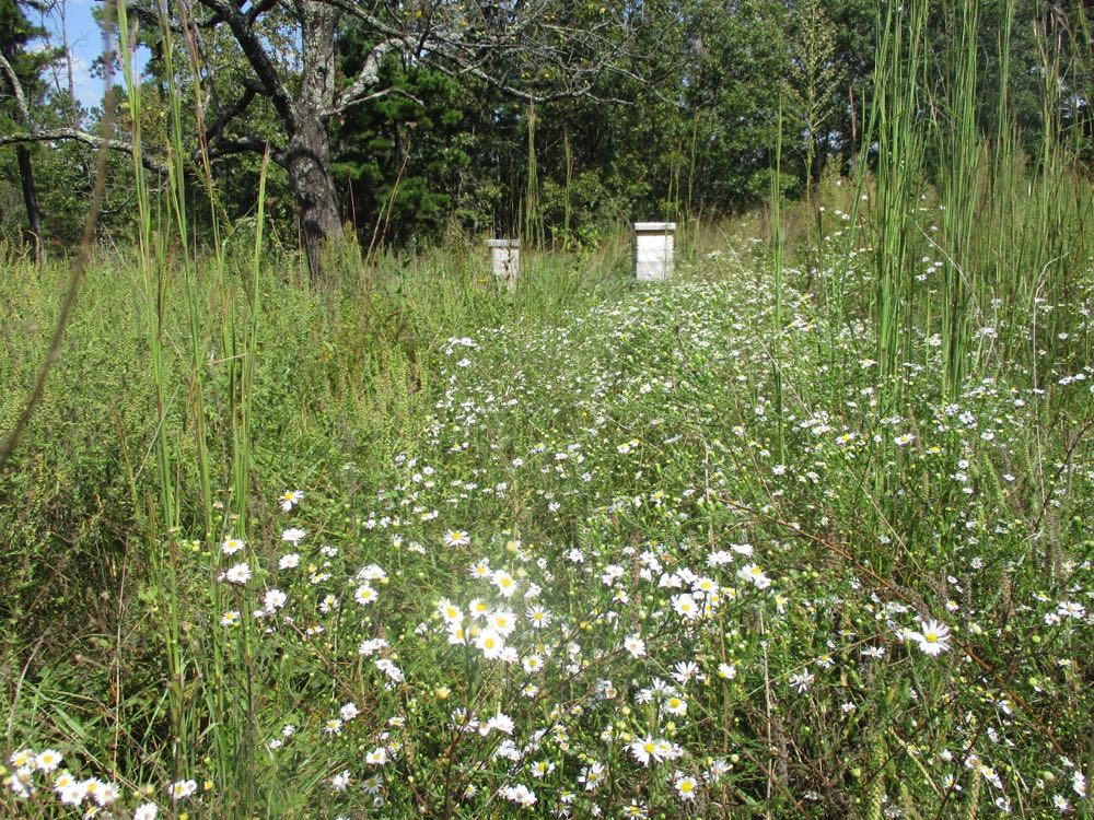 White Heath Asters are a wonderful source of fall pollen for bees, even in drought.