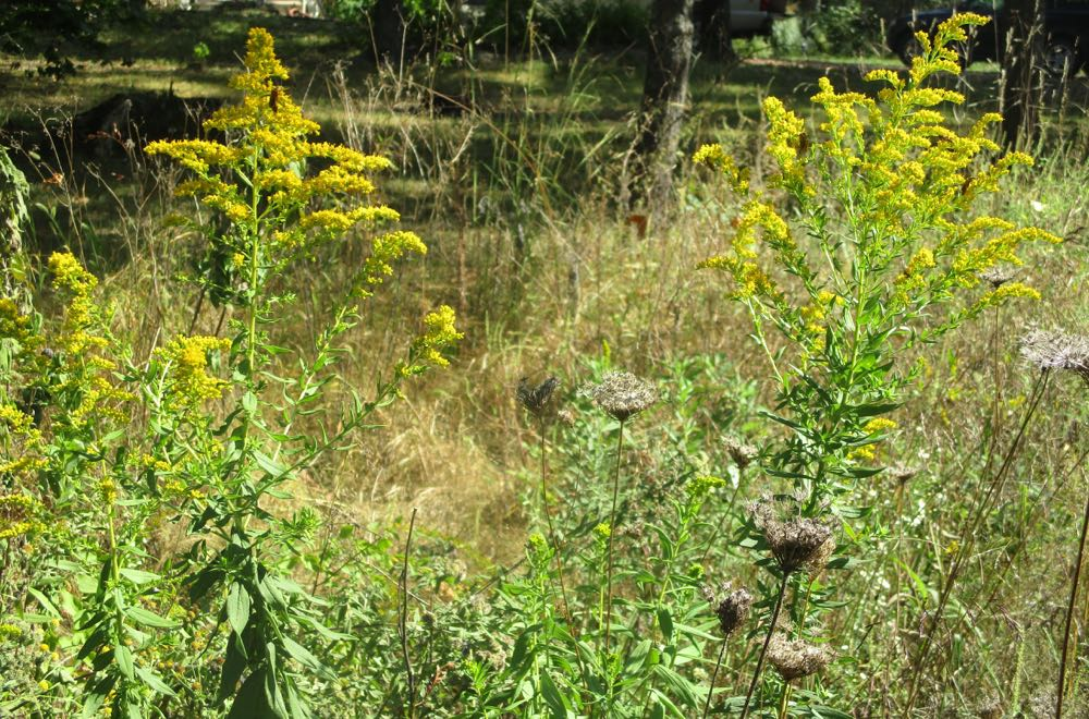 Early Goldenrod is one of 22 Goldenrod species blooming in Missouri June-November.