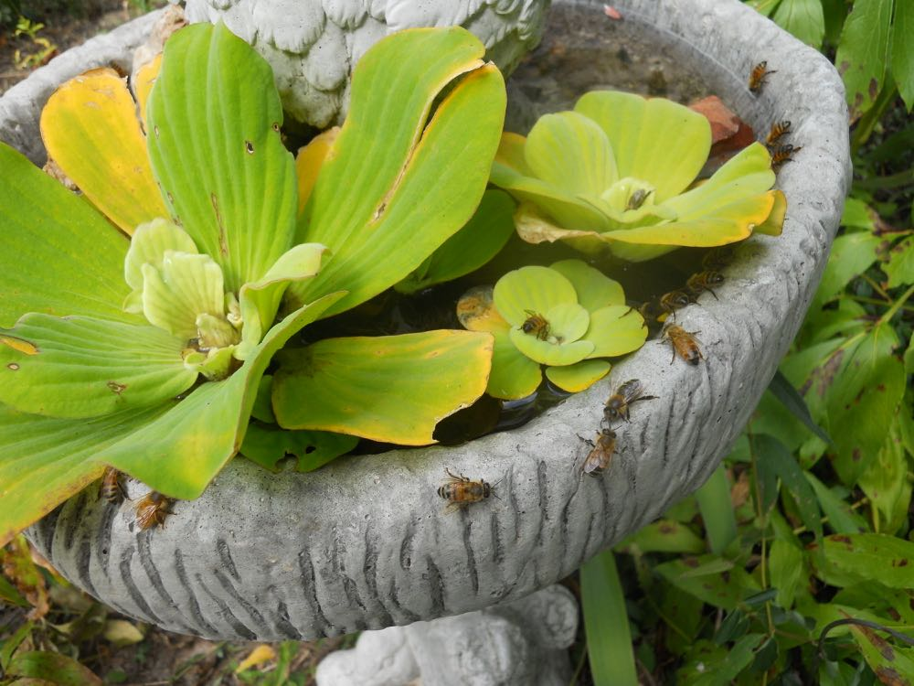 Water lettuce  Pistia stratiotes  makes a nice safe landing spot for bees gathering water.