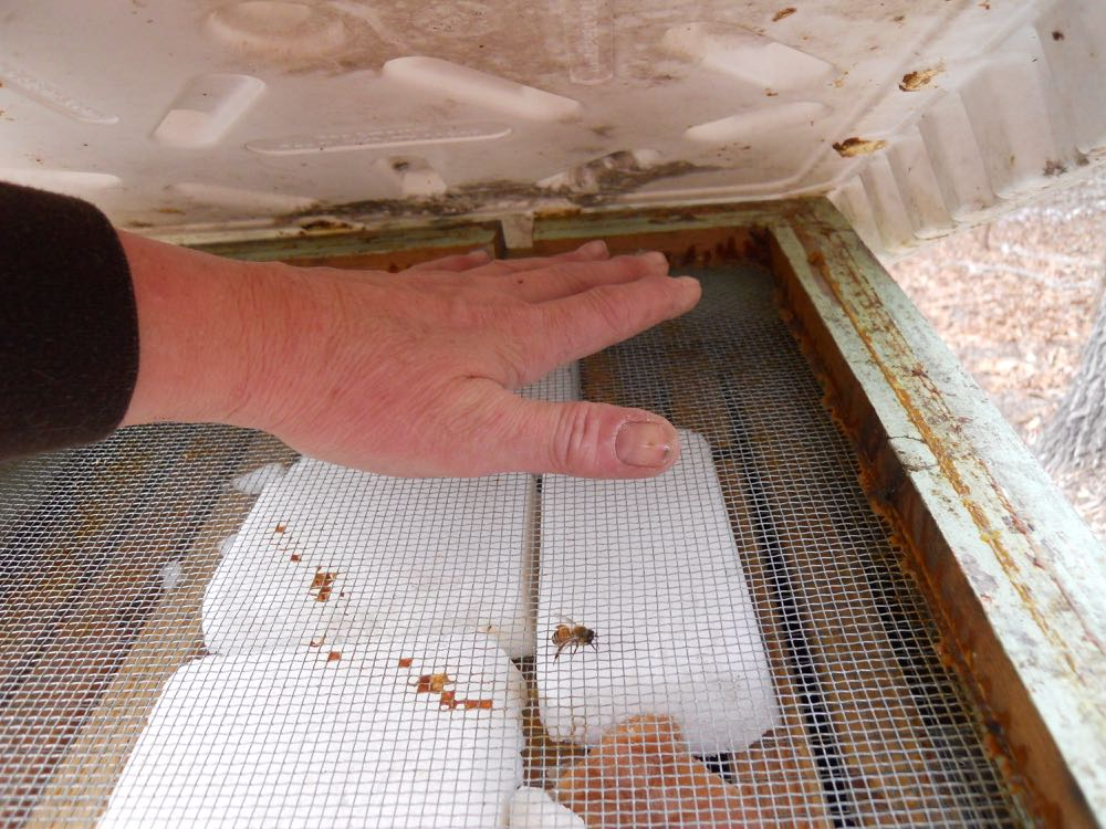The honeybee cluster can generate a lot of heat that's easy to find with your hand.