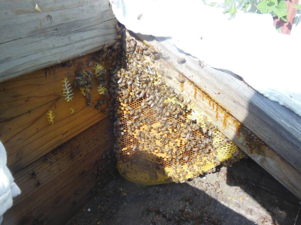 Bees in wood pile corner comb.jpg