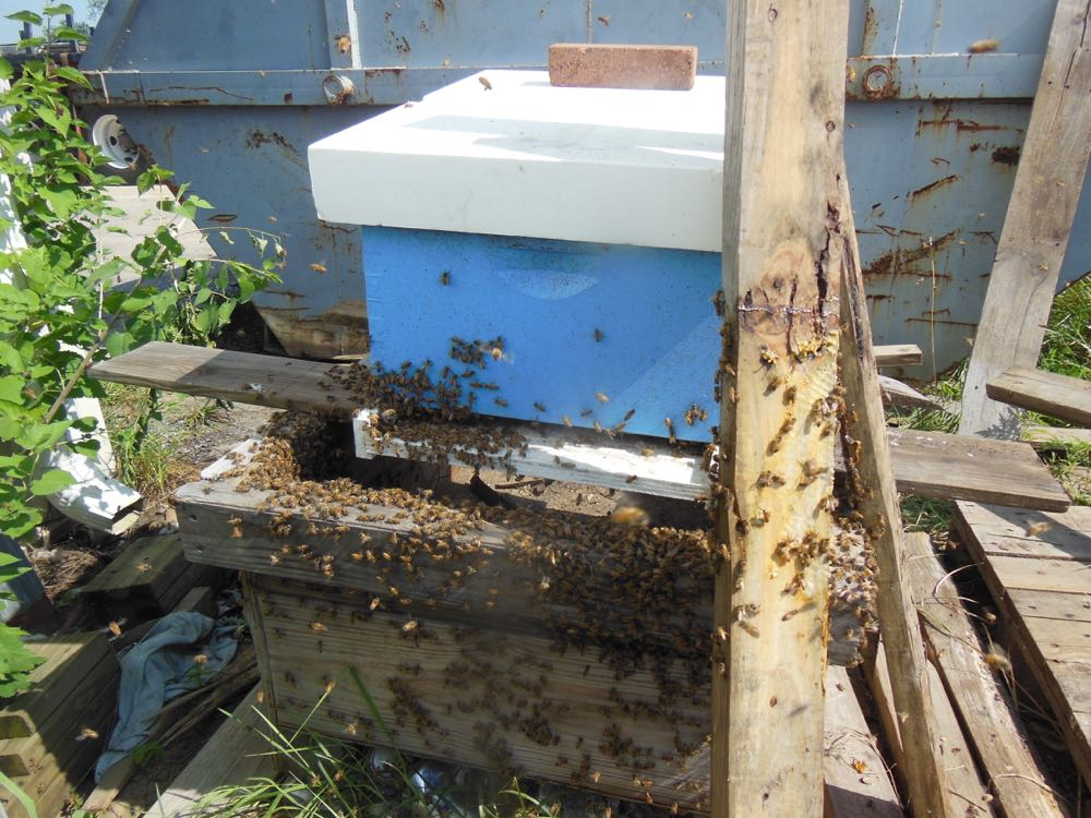 After a few minutes, bees start going into the hive after the queen's welcoming pheromone.
