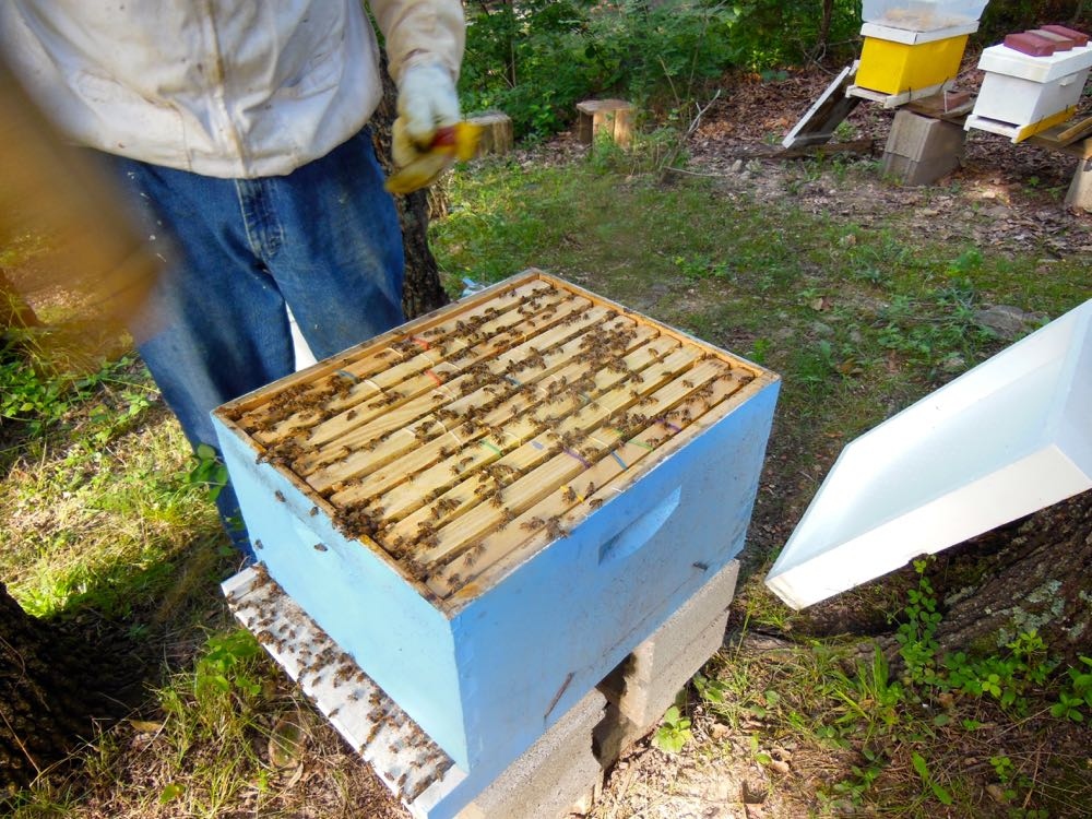 The new colony settled in David's apiary on concrete blocks for a base.