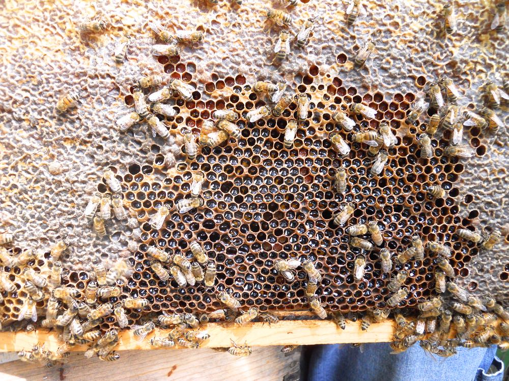 This brood frame has been filled with nectar, taking up all of the room where a queen could lay. (Photo by Charlotte Ekker Wiggins)