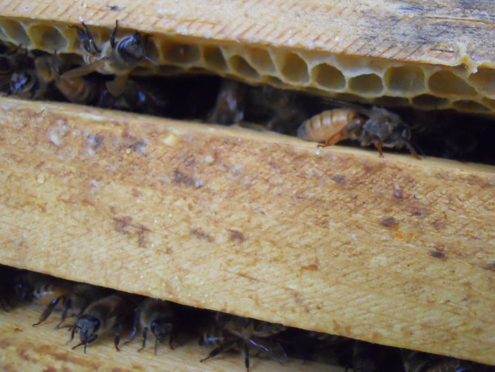 A queen bee walking between the frames of a Langstroh hive in my apiary.