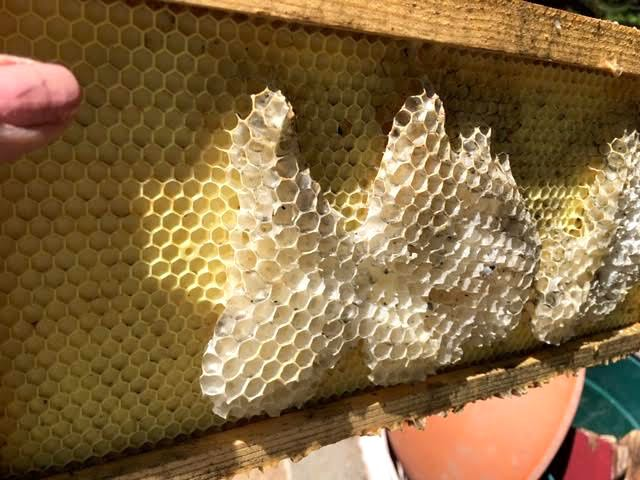 This plastic frame is missing something so bees are making do. (Photo by Charlotte Ekker Wiggins)