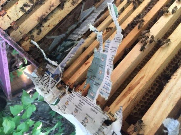 Worker honey bees actively work to remove the newspaper. (Photo by Charlotte Ekker Wiggins)
