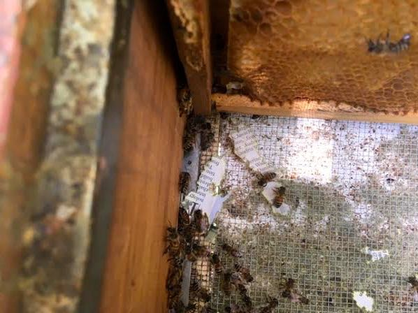These worker bees are close to newspaper they were moving out of the hive. (Photo by Charlotte Ekker Wiggins)