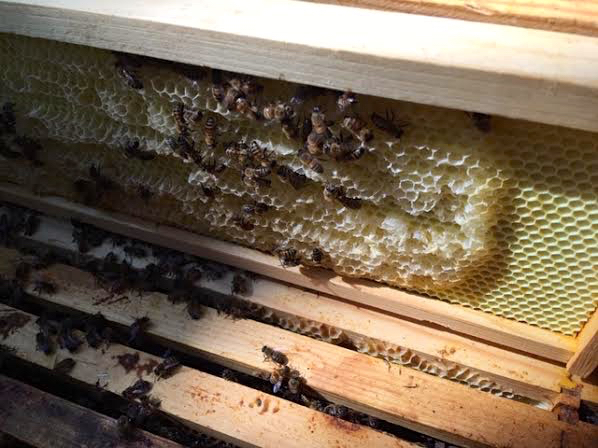 Placing frames of empty wax comb on top box may encourage bees to move up. (Photo by Charlotte Ekker Wiggins)