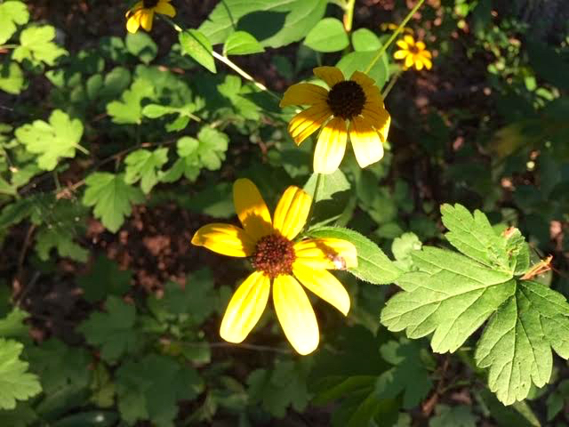 Late afternoon sun helps to explain why these are called brown-Eyed Susans. (Photo by Charlotte Ekker Wiggins)