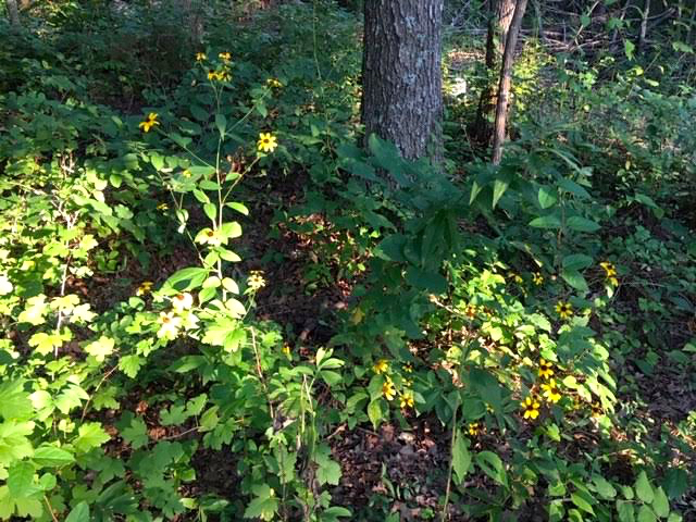Brown-eyed Susans getting established in a flower bed at the edge of my property. (Photo by Charlotte Ekker Wiggins)