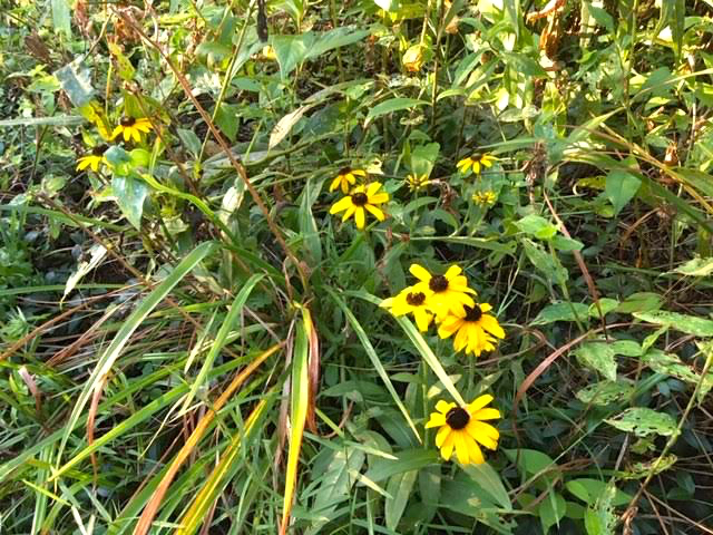 Black-Eyed Susans bloom continuously from July until frost. (Photo by Charlotte Ekker Wiggins)