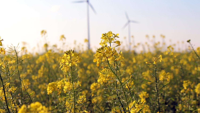 field-of-rapeseeds-1816847.jpg