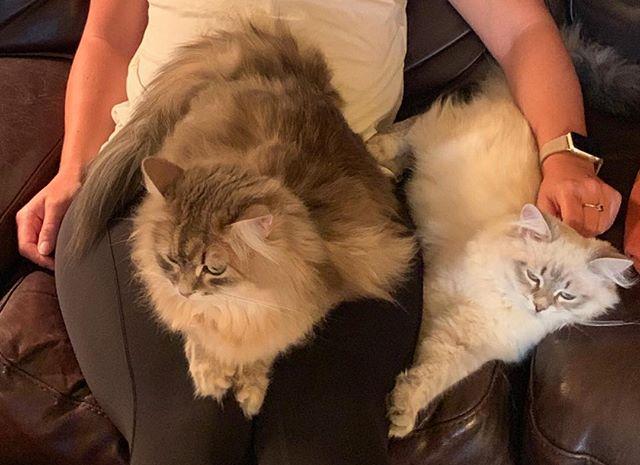 Lap kitties!  #itsmyturn #siberiancatswashington #hypoallergeniccats