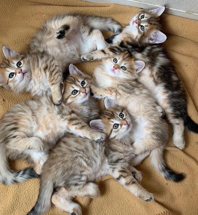 A mess of black golden Siberian kittens!😻