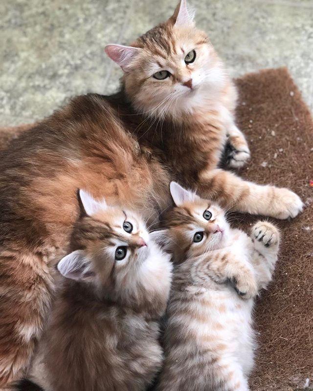 They love their mom! #siberiancatswashingyon #hypoallergeniccats