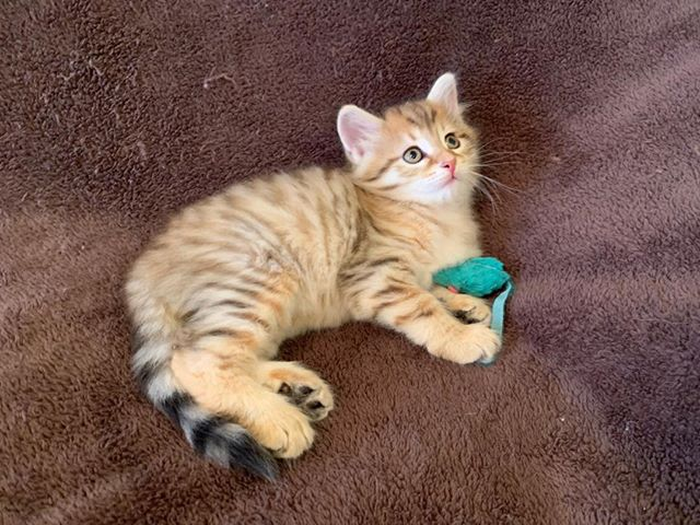 Available black golden mctabby male. Born May 21st. Parents are Sky Mt Tiana and  TICA GCH Atos Aryskotraca. Please PM me or email me at skymountainsiberians@hotmail.com for more info. #availablesiberiankittens #hypoallergeniccats #siberiancatswashington
