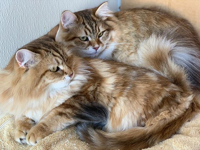 Available pair of black golden Siberian siblings.  Born  April 2018. Neutered/spayed, microchipped, up to date on vaccinations. Please personal message me or email at skymountainsiberians@hotmail.com for additional information.