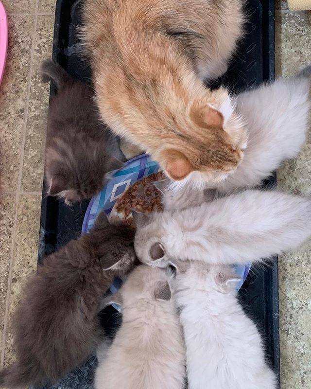 The kittens are 5 weeks old and eating well!😻 #hypoallergeniccats #siberiancats