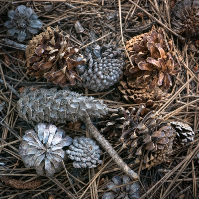 Lodgepole Pine Campground Cones.