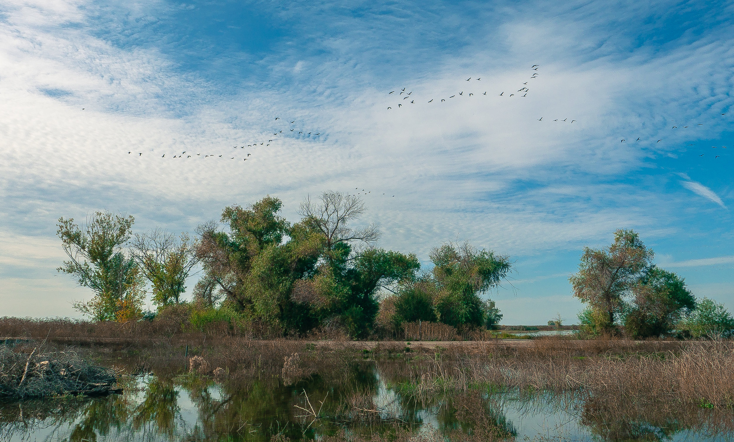Sandhill cranes take flight over the Merced National Wildlife Refuge.