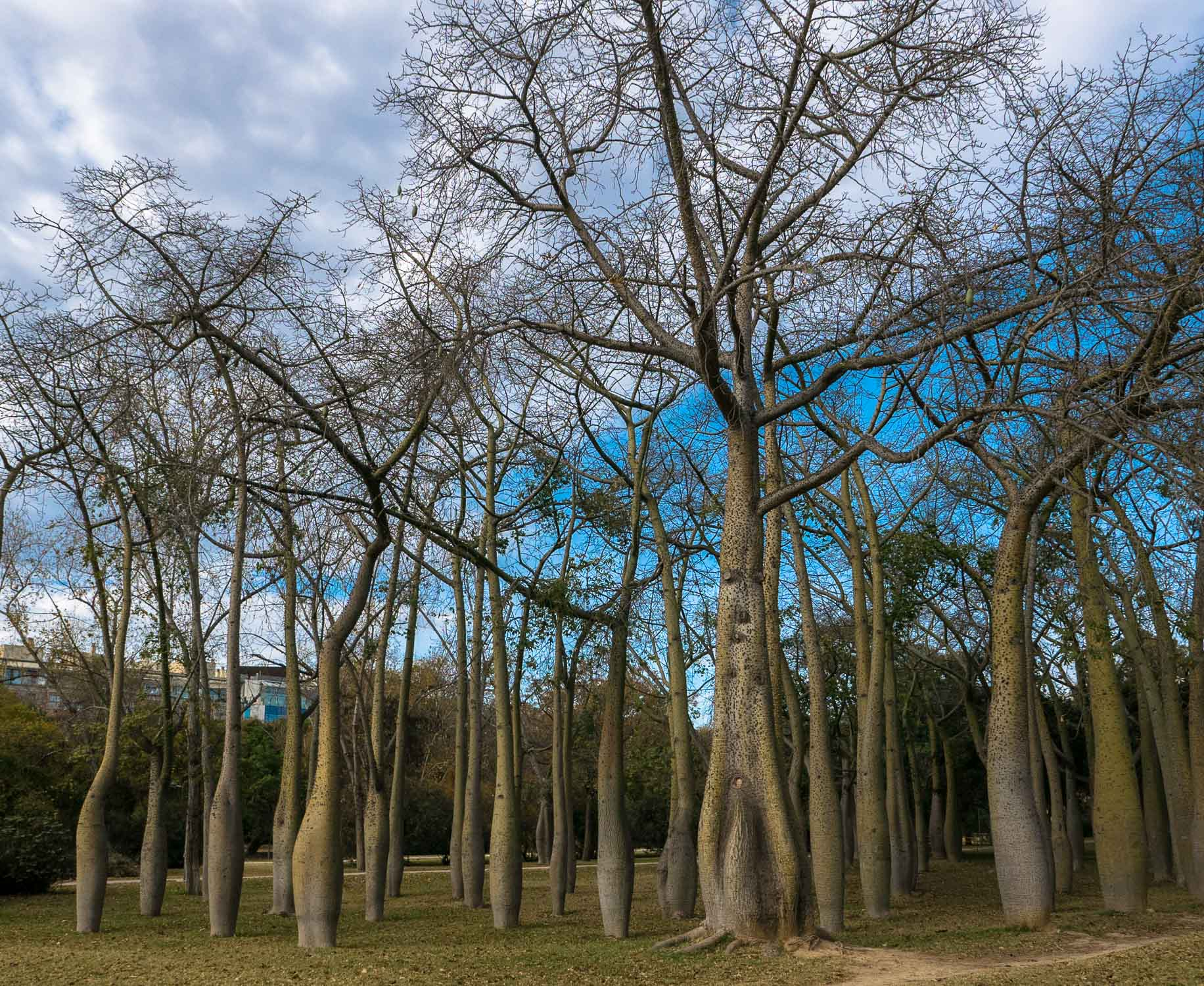 Old Boabab trees in one of the Turia gardens.
