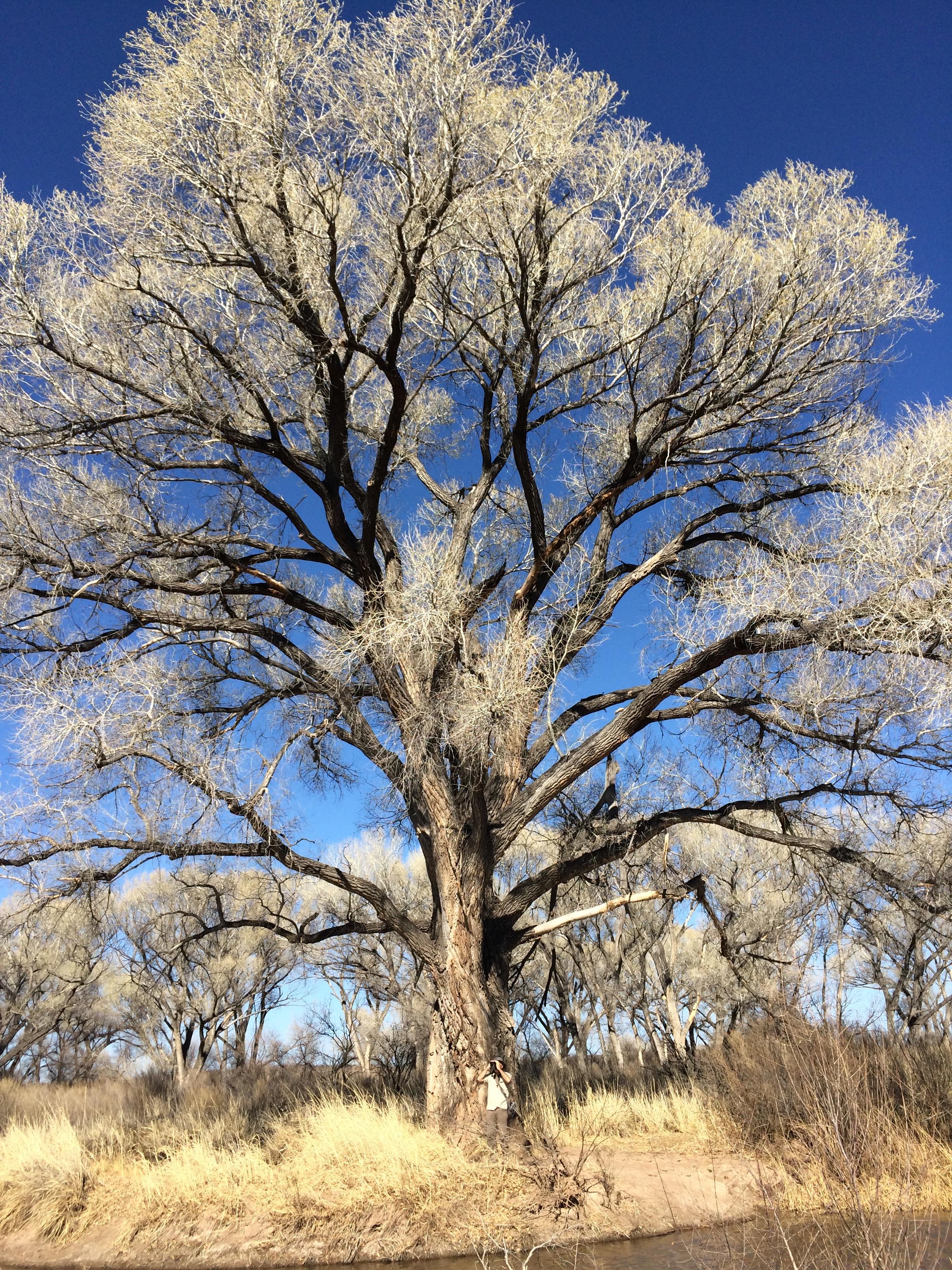 The biggest cottonwood trees I have ever seen at San Pedro River National Riparian Area, Arizona