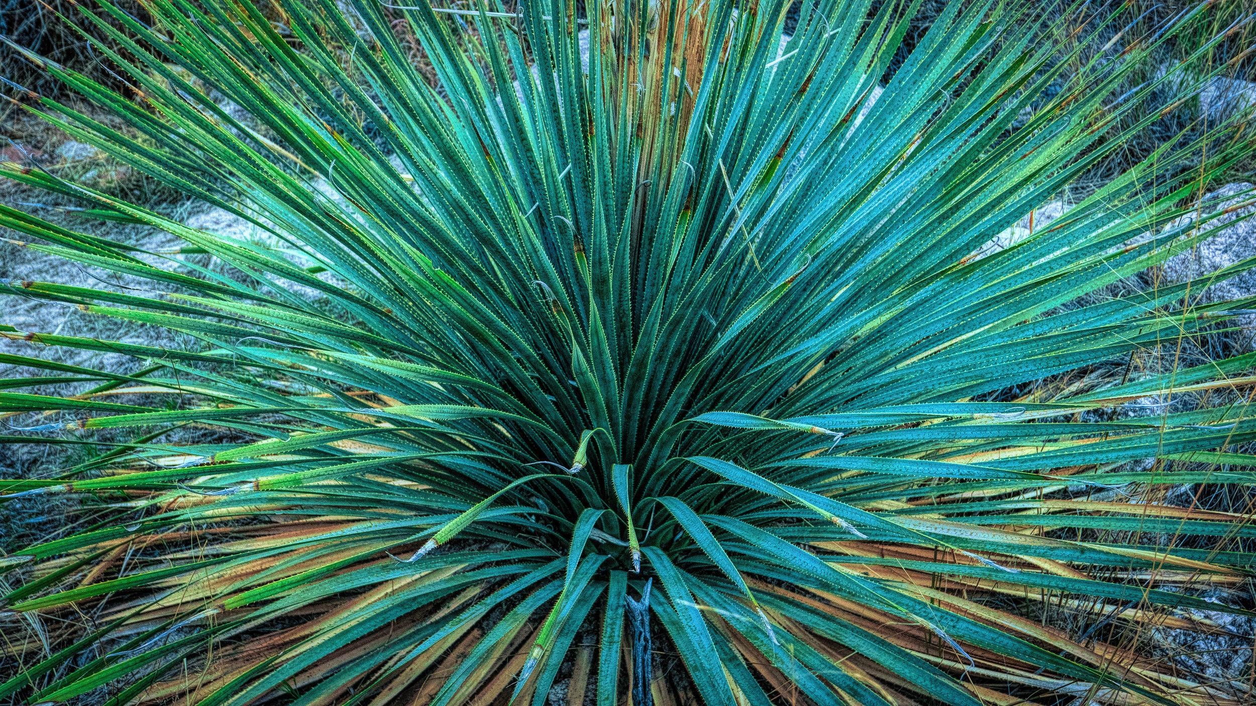 Sotol in Catalina State Park, Arizona.