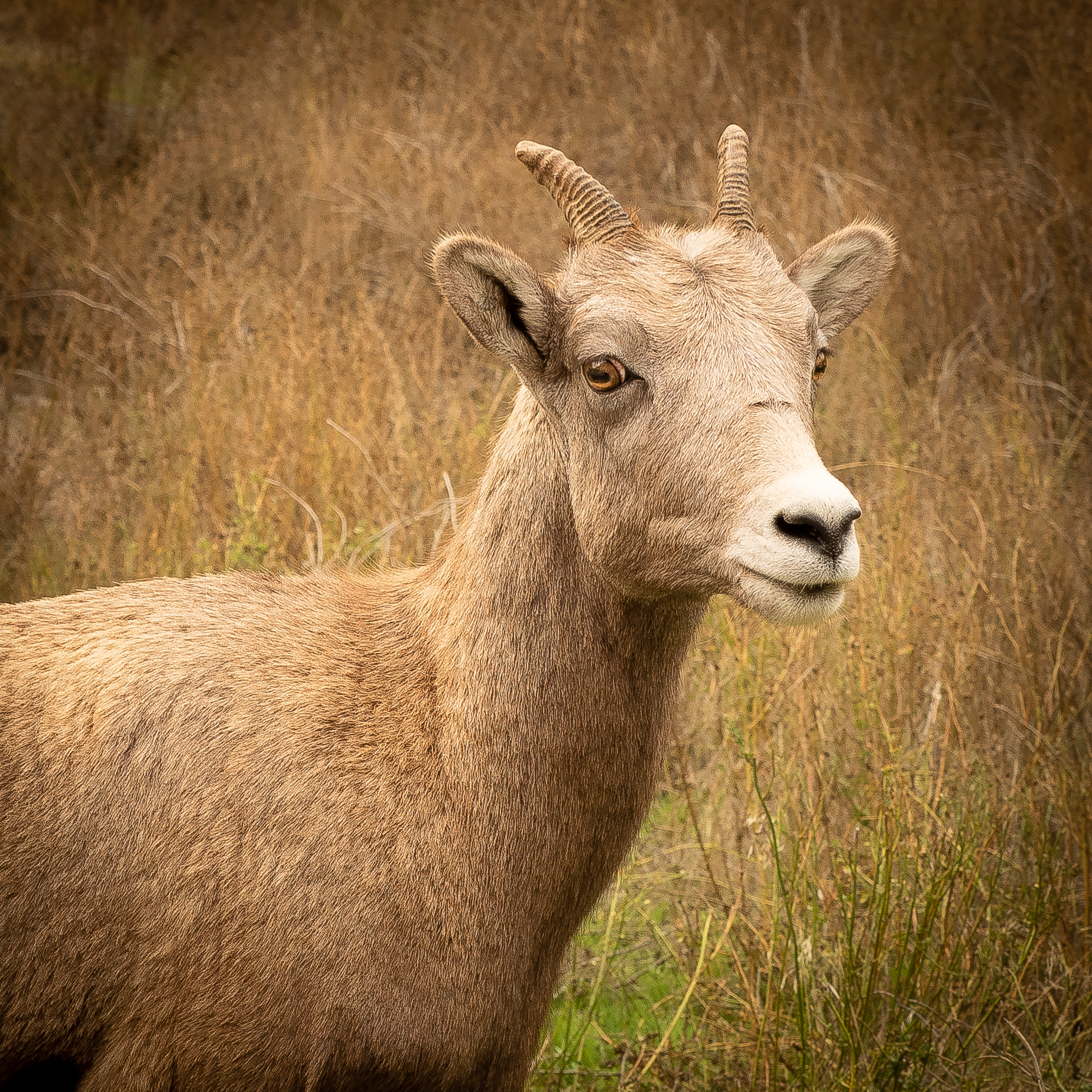 A young bighorn sheep checks us out along the road near Spences Bridge.