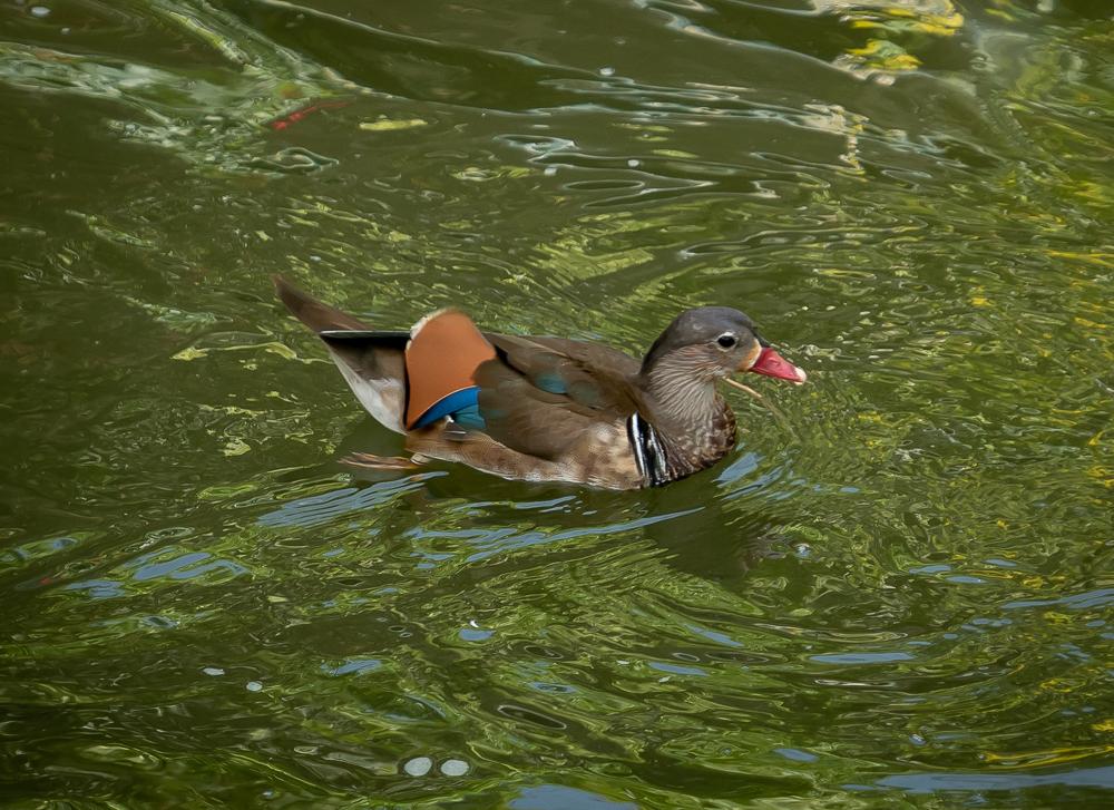A mandarin duck.
